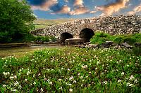Bogbean wildflowers and Leam Bridge near Oughterard, Ireland. Featured in the Quiet Man film. Ireland