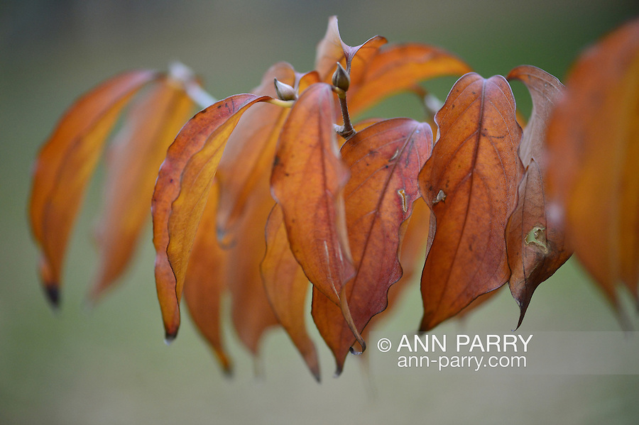 Autumn leaves at Heckscher Park, on November 8, 2014, at Huntington, Long Island, New York, USA