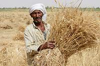 EGYPT, Oasis Farafra, desert farming, harvest of wheat / AEGYPTEN, Oase Farafra, Landwirtschaft in der Wueste, Ernte von Weizen