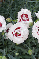 Double Dianthus Coconut Sundae aka Coconut Surprise in white and red flowers with beds, Scent First Pot series