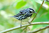 Adult male black-and-white warbler after bath