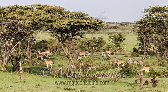 Abundant game including gazelles, baboons and zebras grazing in Garden of Eden like valley, Masai Mara, Kenya, Africa (photo by Wildlife Photographer Matt Considine)