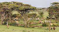 Abundant game including gazelles, baboons and zebras grazing in Garden of Eden like valley, Masai Mara, Kenya, Africa (photo by Wildlife Photographer Matt Considine)