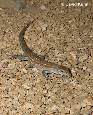 0615-1003  Tiger Whiptail Lizard, Aspidoscelis tigris  © David Kuhn/Dwight Kuhn Photography