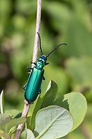 Spanische Fliege, Lytta vesicatoria, Cantharis vesicatoria, Spanish fly, blister beetle, La cantharide officinale, Ölkäfer, Meloidae, blister beetles