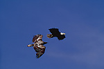 Immature and adult eagles in aerial display, Washington