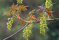 Acer macrophyllum (Big Leaf Maple tree) flower and leaves unfolding
