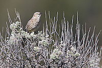 The Sage thrasher is Yellowstone's best singer.