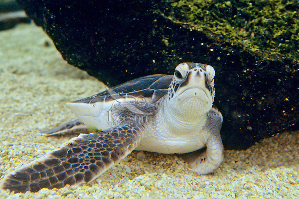 Young Green Sea Turtle (Chelonia mydas) resting underwater.