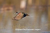00715-07801 Wood Duck (Aix sponsa) male in flight in wetland, Marion Co.  IL