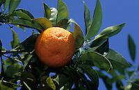 Afrique/Afrique du Nord/Tunisie/Hammamet : Oranges sur l'arbre