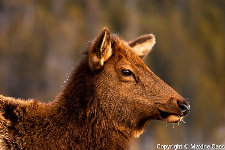 Yellowstone Elk (Cervus elaphus) doe [Wild]: winter portrait, at Old Faithful Geyser Basin, Yellowstone National Park, Wyoming, United States of America