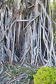 racines de banian