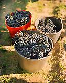 AUSTRIA, Morbisch, harvested red wine grapes, Schindler Vineyard, Burgenland