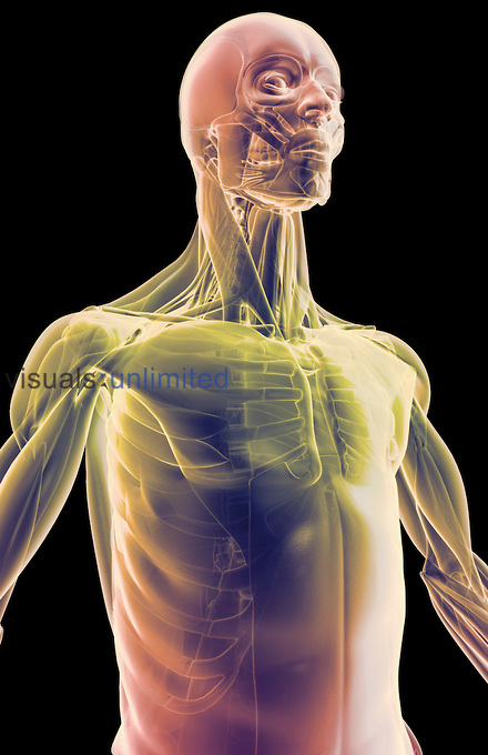 An anterolateral view (right side) of stylized muscles of the upper body. Royalty Free