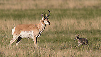 It was interesting to see the pronghorn buck approach on of the fawns (possibly its own offspring). It came in a knocked the little one over a couple times. Good practice for later sparring as an adult, perhaps!