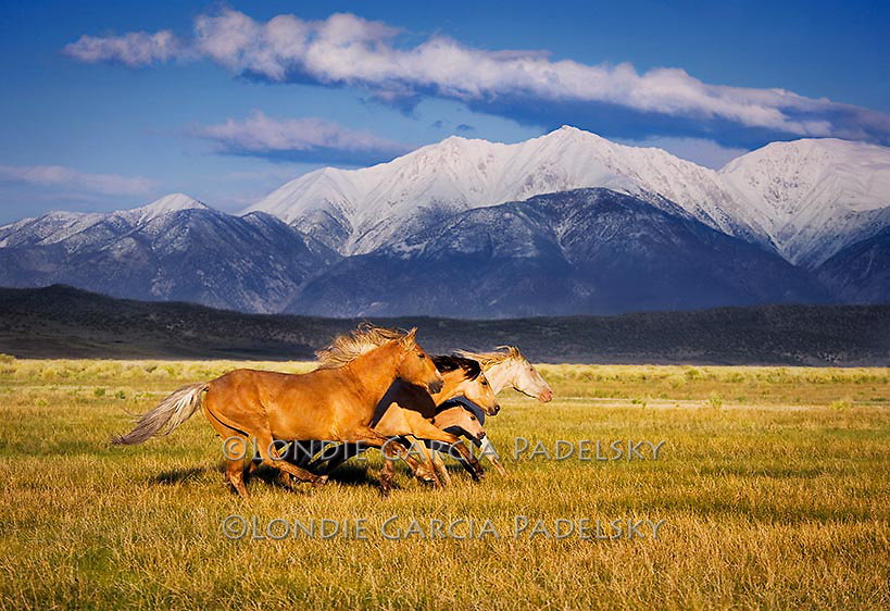 Foal running with the mustang herd. Sierra Nevada, California