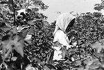 Children picking cotton on farm of Minnie Guise in Mt. Meigs, Ala. Photo by Jim Peppler taken for two essays published in The Southern Courier on September 10, and Sept. 17, 1966.Photo by Jim Peppler originally published in The Southern Courier Newspaper (now defunct).  This and over 10,000 other images are part of the Jim Peppler Collection at The Alabama Department of Archives and History:  http://digital.archives.alabama.gov/cdm4/peppler.php