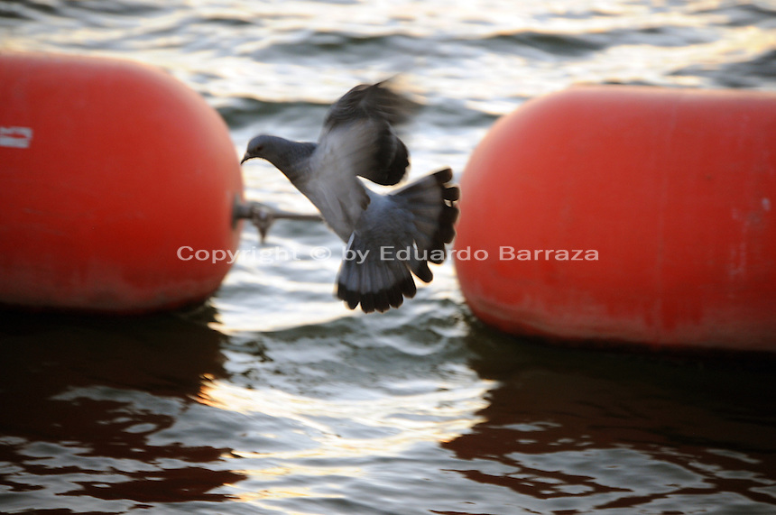 Tempe, Arizona. A pigeon flying above the surface of Tempe Town Lake. Pigeons an other birds are a regular sight at the lake. Photo by Eduardo Barraza © 2015