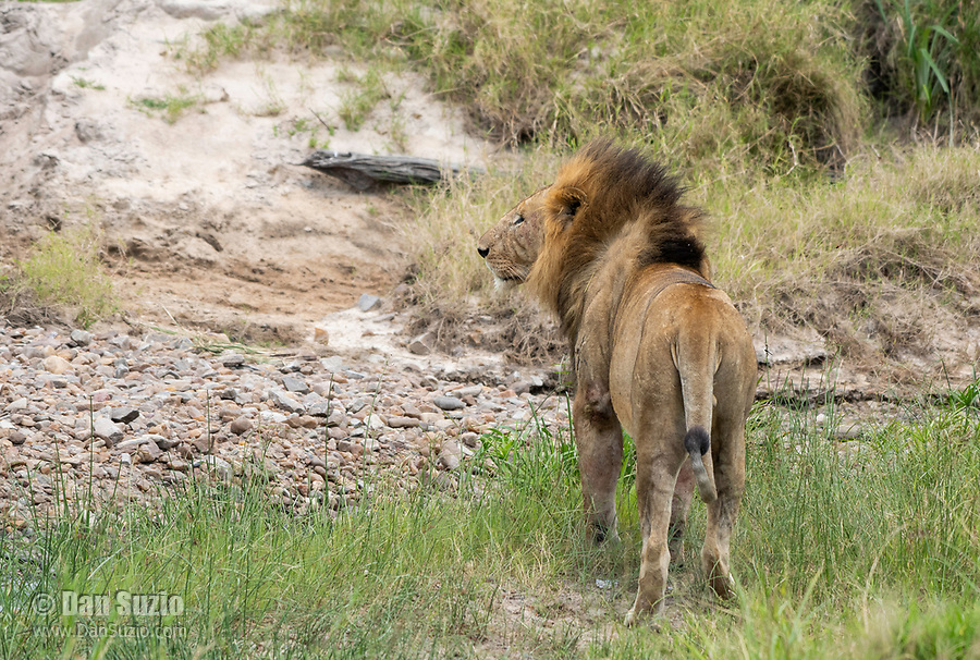 A male Lion, Panthera leo  melanochaita, walks in a streambed in Maasai Mara National Reserve, Kenya