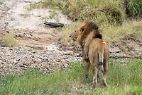 A male Lion, Panthera leo  melanochaita, walks in a streambed in Maasai Mara National Reserve, Kenya