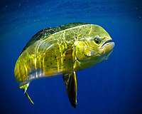 mahi-mahi or common dolphinfish, Coryphaena hippurus, Florida, USA, Atlantic Ocean