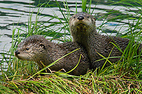 Northern River Otter (Lontra canadensis) pups on grass covered log along the edge of a lake.  Western U.S., summer..