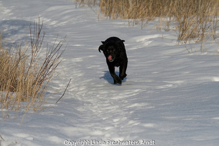 Black Labrador retriever in winter