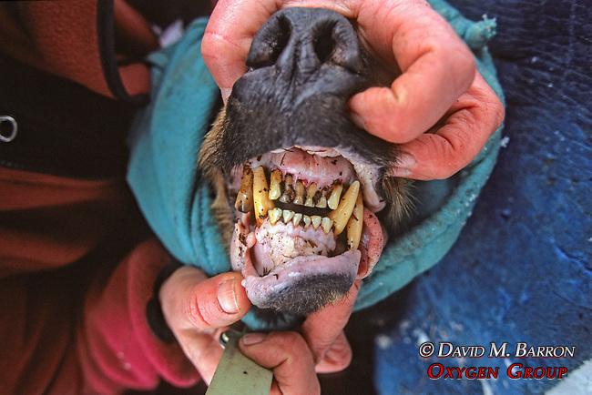 Teeth Of Black Bear #5