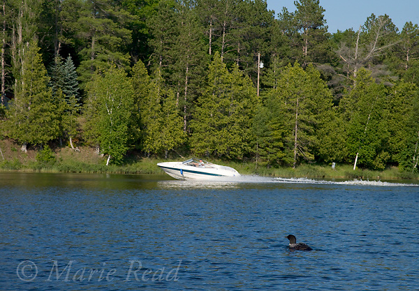 Common Loon (Gavia immer), with speeding powerboat in background, Michigan, USA. Human-wildlife interaction.