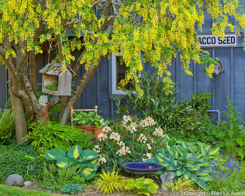 Vashon-Maury Island, WA<br /> Spring garden bed with blooming rhododendron, grape hyacinth, hostas, and Japanese forest grass under a golden chain tree.