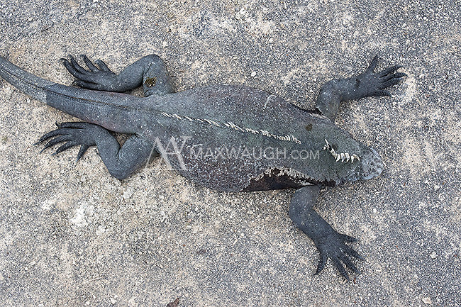 Marine iguanas are one of the iconic species of the Galapagos Islands.