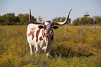 Longhorn Cattle In Texas Field