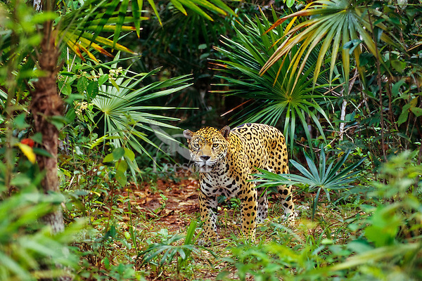 Jaguar (Panthera onca).  Central American tropical rainforest.