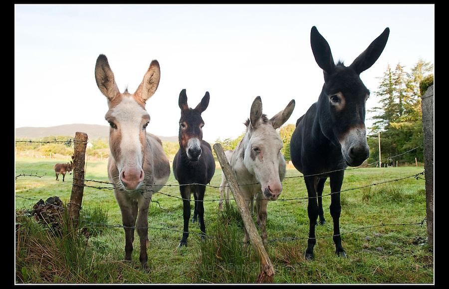 Donkey (Equus africanus asinus) Sligo, Ireland - 25th August 2010