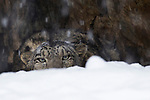 Snow Leopard (Panthera uncia) male peering over snow during snowfall, Sarychat-Ertash Strict Nature Reserve, Tien Shan Mountains, eastern Kyrgyzstan