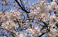 Nederland - Amstelveen - 2018. Cherry Blossom Festival in het Amsterdamse Bos .   Foto Berlinda van Dam / Hollandse Hoogte