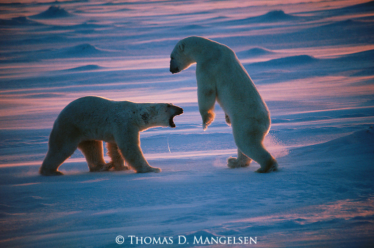 A confrontation between two polar bears at Hudson Bay, Churchill, Manitoba, Canada.
