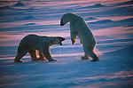 A confrontation between two polar bears at Hudson Bay, Churchill, Manitoba, Canada.