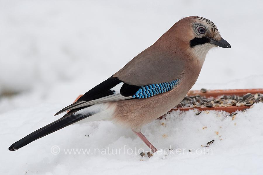 Eichelhäher, an der Vogelfütterung, Fütterung im Winter bei Schnee, frisst Körner am Boden aus einer Schale, Winterfütterung, Eichel-Häher, Garrulus glandarius, jay, Geai des chênes