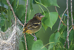 Baltimore Oriole (Icterus galbula) fledgling just out of the nest, Ithaca, New York, USA<br /> Slide # B166-307