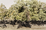 An oil spill in the Sunderbans marks the vegetation on the banks. The effects of human disasters like this last for many years and affect the entire ecosystem.