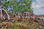 Roots of Red Mangrove, Rhizophora mangle, at low tide, Florida Keys National Marine Sanctuary, Key Largo, Florida