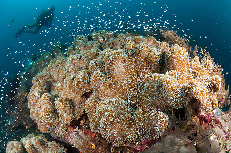 Diver approaching large group of mushrrom leather coral (Sarcophyton sp.), Raja Ampat, Indonesia