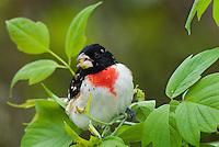 Male ROSE-BREASTED GROSBEAK (Pheucticus ludovicianus).  Spring.