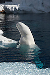 beluga whale, Delphinapterus leucas, head and body, above water, captive