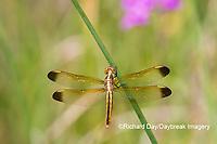 06618-00305 Yellow-sided Skimmer (Libellula flavida) female Cottonmouth Fen Ripley Co. MO