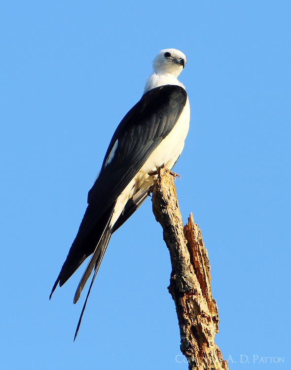 Adult swallow-tailed kite, note the clean white body.