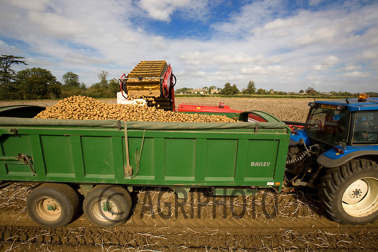 Lifting Potatoes in Lincolnshire..Picture Tim Scrivener date taken 23rd September  2011 .mobile 07850 303986 e-mail tim@agriphoto.com.....covering Agriculture in The United Kingdom.....