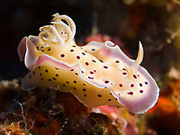 Nudibranch, Chromodoris tritos, South Ari Atoll, Maldives, Indian Ocean